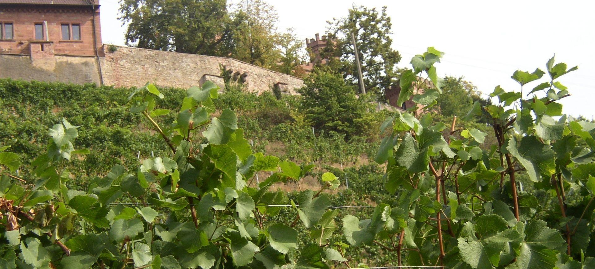Weingut-Kiefer-Ortenberg-Wein-Erlesen-kaufen-Weintrauben-Weinberg