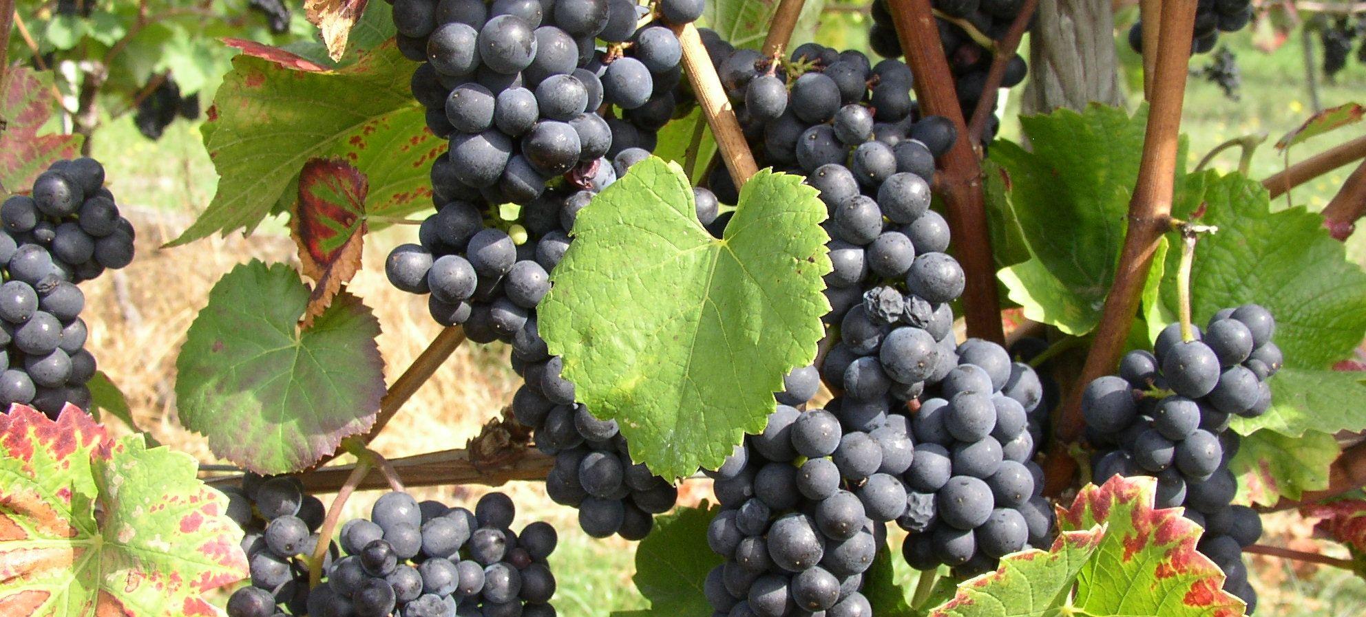 Weingut-Kiefer-Ortenberg-Wein-Erlesen-kaufen-Weintrauben-rot
