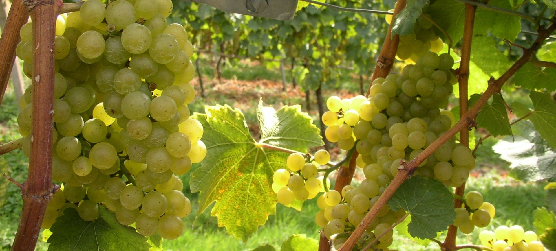 Weingut-Kiefer-Ortenberg-Wein-Erlesen-kaufen-Weintrauben-weiss