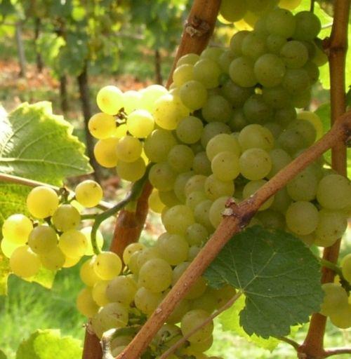 Weingut-Kiefer-Ortenberg-Wein-Erlesen-Trauben-weiss