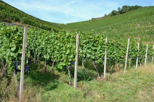 Weingut-Kiefer-Ortenberg-Wein-Erlesen-kaufen-Weinberg